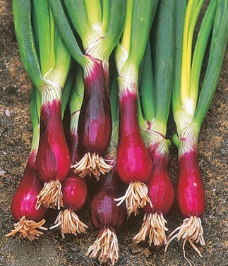 How to grow the red beard onion