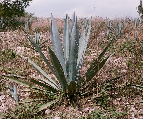 Agave americana growing in Mexico. The agave can be used to make mezcal.