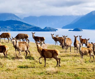 Deer on New Zealand's South Island