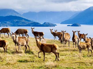 Deer on New Zealand's South Island