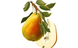 How to grow pears (and how to tell when they're ripe)