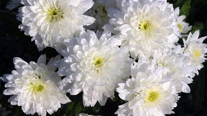 """<strong>When it's Mother's Day</strong> <br> <br> """"<em>Chrysanthemums in all their hues will convey your love, appreciation and happy wishes for your Mum, they even call out to her in their name</em>,"""" Darcey points out. """"<em>It is no surprise that they are so popular for Mother's Day and really are a great choice. White Chrysanthemums, in particular, will say that you will keep your promises made to Mum and that you think she is sweet</em>."""""""