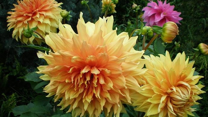 """<strong>When it's Valentine's Day and you want to cheer up a recently-single friend</strong> <br> <br> """"<em>If you have a friend you want to cheer up after becoming recently single, give her a bunch of Dahlias</em>,"""" says Darcey. """"<em>They say 'you can do this' and offer dignity and a boost in confidence. These gorgeous flowers show your encouragement of your friend if they feel challenged at this time and also offer some inner strength</em>."""""""