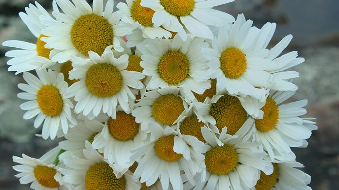 "<strong>When you just want to brighten someone's day</strong> <br> <br> ""<em>Who cannot be charmed and delighted with a bunch of Daisies? If you want to brighten someone's day then select these fun and happy flowers. They mean playfulness and also protection which could be important if someone is feeling a little challenged or gloomy. Daisy will also say 'I support you' and offer calmness</em>."""