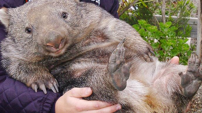 Wombat mite infestation in Canberra