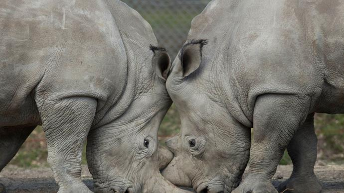 Poachers kill rhino and saw off his horn after breaking into Paris zoo