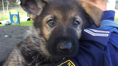 These cute and cuddly NSW Police puppies prove why a dog really is a man's best friend