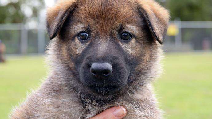 Queensland police ask public to name puppy litter