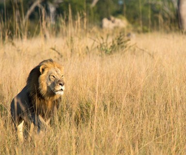 Cecil the Lion's son Xanda has been shot and killed by a trophy hunter in Zimbabwe