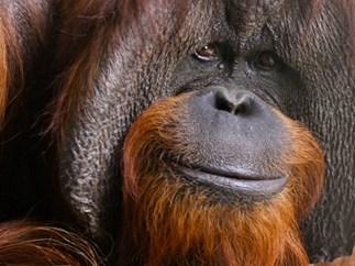 Chantek, the world's smartest orangutan, has died at 39