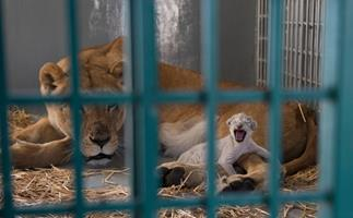 Rescued lion gives birth to new cub
