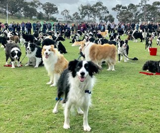 Over 500 Border Collies were at the same place and why weren't we invited?