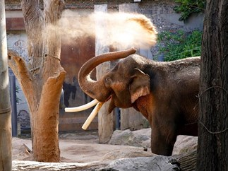 An elephant from Melbourne zoo has died because of subpar enclosure conditions