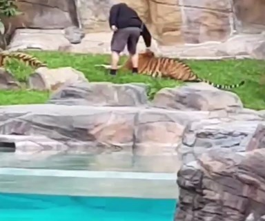 BREAKING: Shocking footage of a tiger being hit and pulled by handlers at Dreamworld