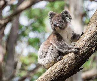 Horrific: Police investigating koala mutilation