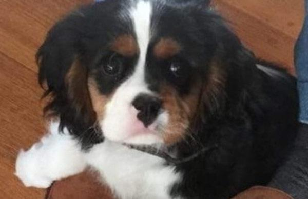 Police ask for help to locate a stolen therapy puppy