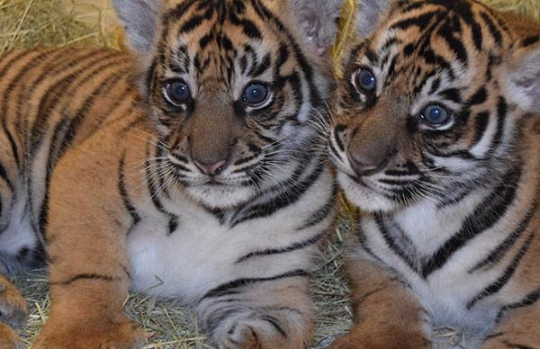 Meet Anala and Jeda the first tiger cubs ever born at Disney World