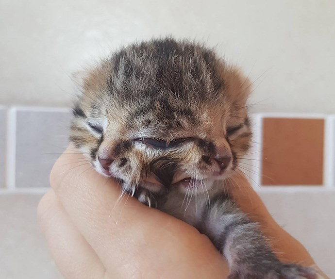 Incredibly rare kitten born with two faces is beating all the odds