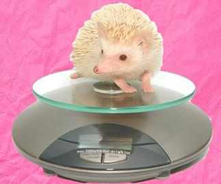 Delightfully chubby hedgehogs are being put on a Weight Watchers program