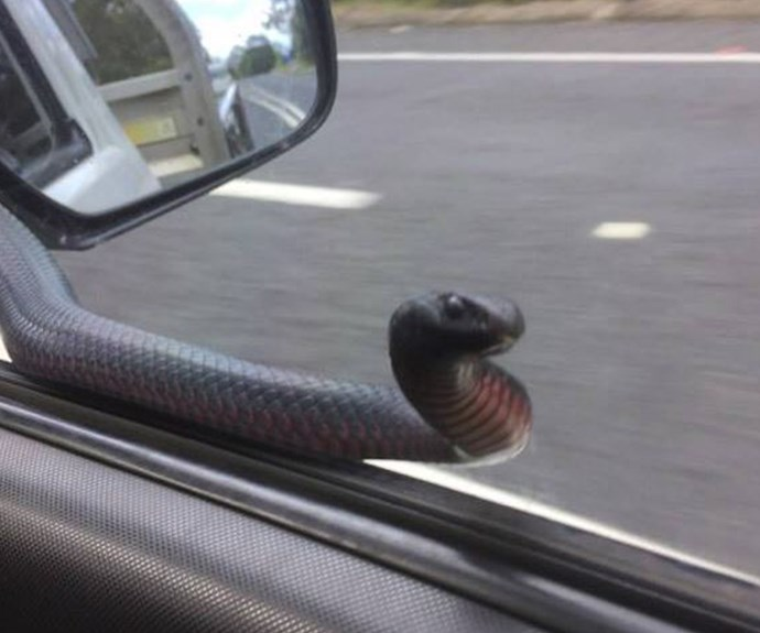 Red-belly black snake hitches a ride on a car