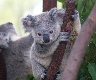 The poor koala found screwed to a pole in Queensland