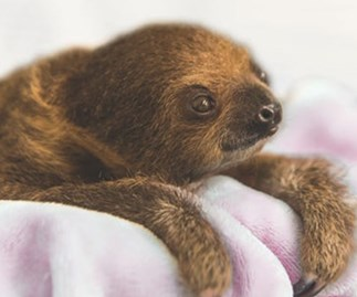 Zoo welcomes adorable baby sloth and we can't stop staring