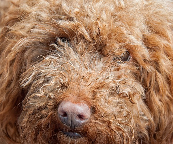A man has been arrested after shooting a labradoodle in the head with a spear gun