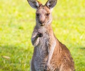 Aussie bloke tries to hunt a kangaroo, it responds by beating the bejeezus out of him