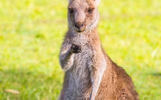 WA hunter attacked by a kangaroo