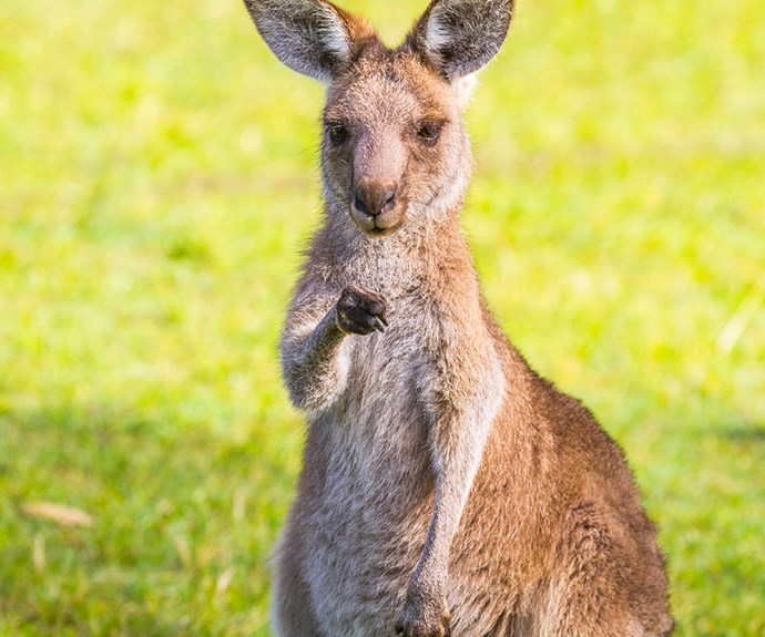 WA hunter attacked by a kangaroo
