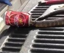 The MOST Aussie thing to ever happen? Thirsty snake gets head stuck in beer can