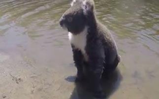 a koala SWIMS across creek