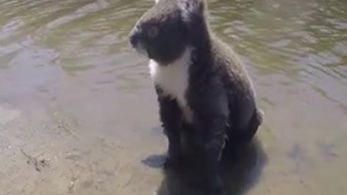 a koala SWIMS across creek