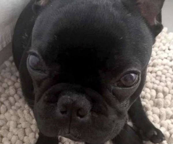 puppy, death, united, french bulldog
