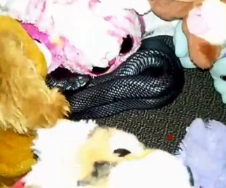 Strewth! Venomous snake found curled up with child's stuffed toys in bedroom