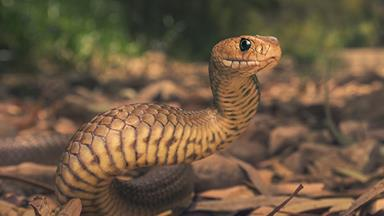 This Grandfather took the bite of a brown snake to save his granddaughter's life