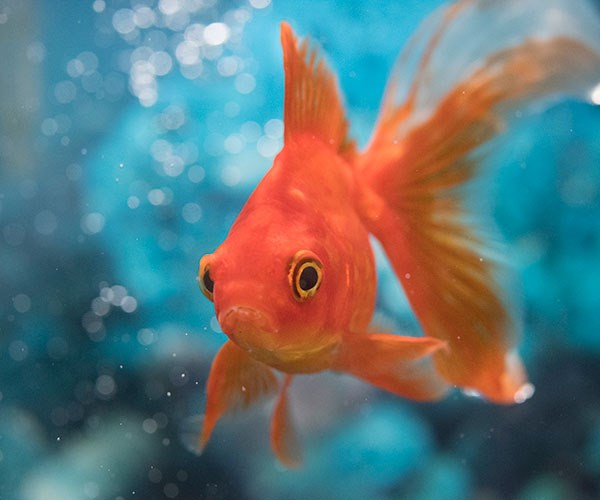 Real life: My evil hubby came back as a goldfish!