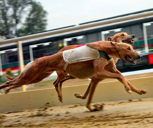 Thinking about adopting an ex-racing greyhound? Read Angela's beautiful story