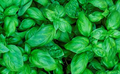 How to grow lots and lots of basil