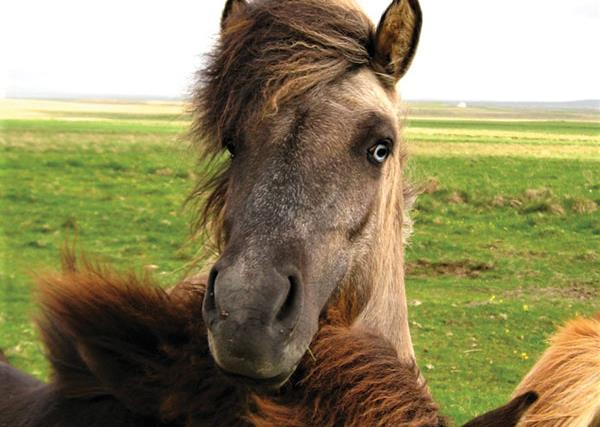 Real life: I travelled to Iceland for its horses