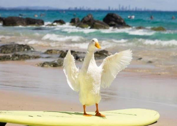 REAL LIFE: Meet the surfing duck making a splash around Australia's beaches