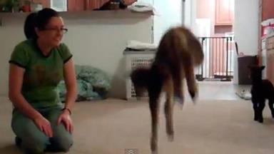Adorable lambs leap around living room