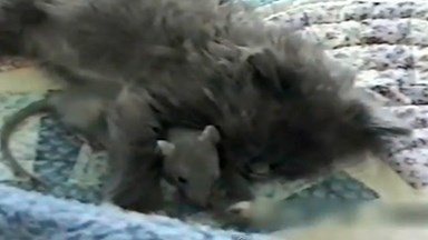 Brave mouse cuddles up to sleeping cat