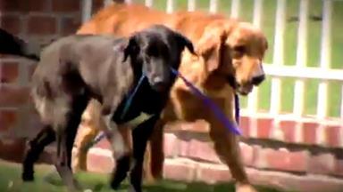 Blind dog has his own seeing eye dog