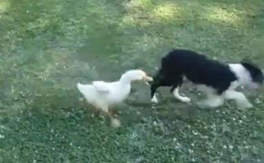 Brave duck takes on dog