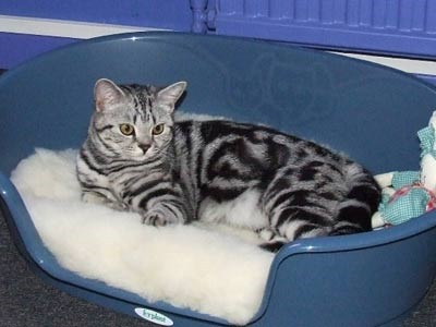Our baby Brie at 8 months old is a silver tabby and an absolute delight. Helen and Sam.