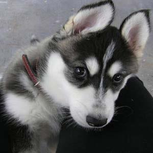 My baby Jazz is a Siberian husky. This is her under 12 months. She is my supermodel puppy. Caroline Cordeiro.