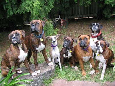 The family portrait. Mum (Indi), Dad (Max) and their four children (Bandit, Hendrix, Denver and Moccasin) with their Aunty Jet (the whippet). Johanna Colegate.