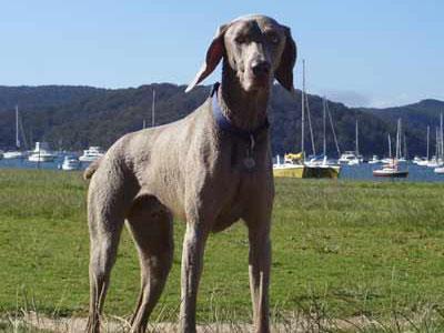 My dog, Oz the Weimaraner, enjoying the sunshine at Bayview, NSW. Sarah Johnson.