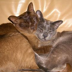 This is a picture of my two Burmese cats Charlie (brown) & Oliver (blue). Charlie is 8 years old and Oliver is about to turn 2. Considering Charlie did not welcome the arrival of Oliver with open arms they certainly look like they love each other now. Melanie.